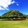 日立の樹 in Hawaii
