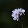 十月桜 part2