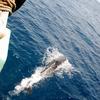 八丈島の海豚(イルカ) #1