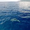 八丈島の海豚(イルカ) #4