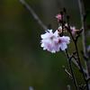 十月桜 part3
