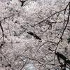 小金井桜 #4