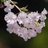 桜満開 #4