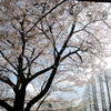 桜満開 #5