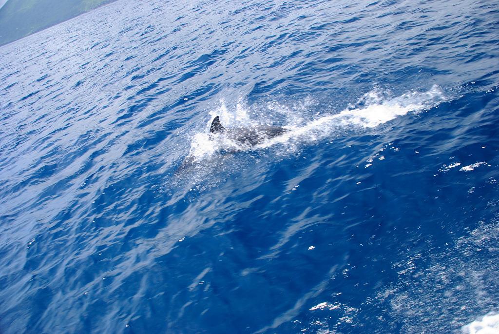 八丈島の海豚(イルカ) #3