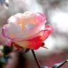 Une rose de l'hiver