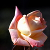 La rose qui a été mélangée de la couleur