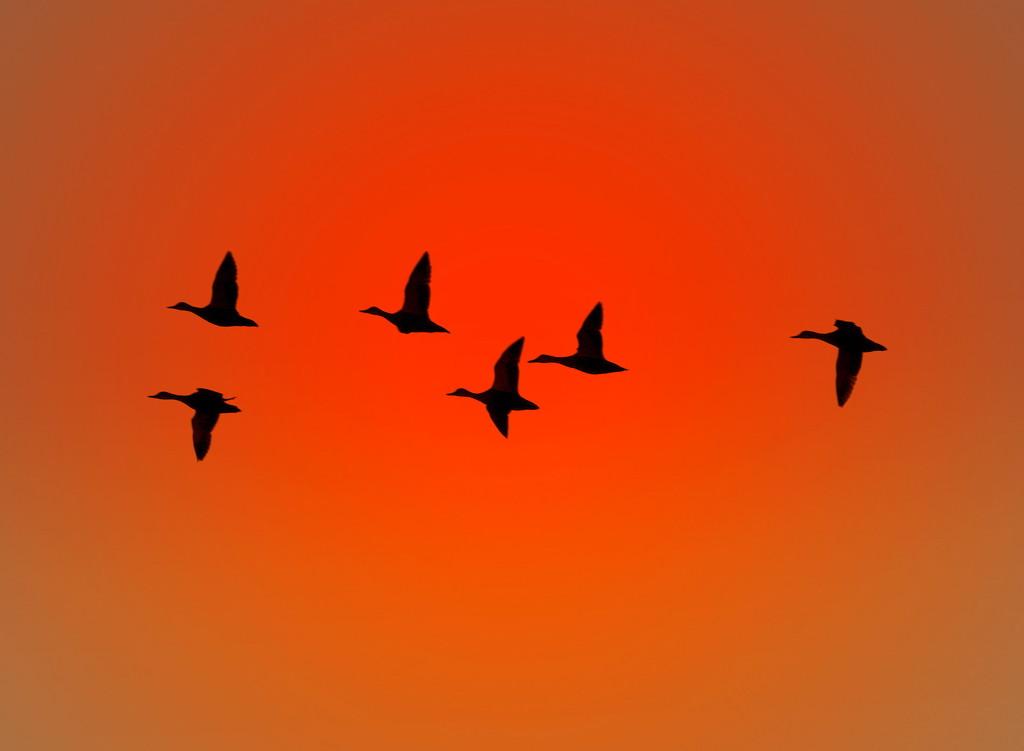 It flies in flocks