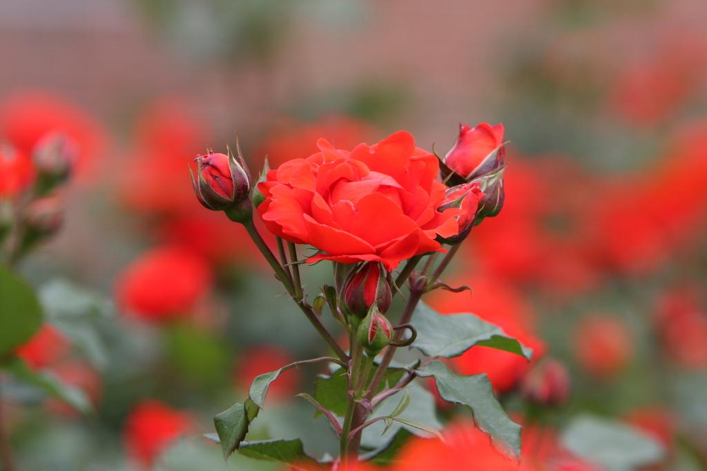 薔薇 0756