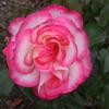 薔薇 0948