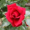 薔薇 0944