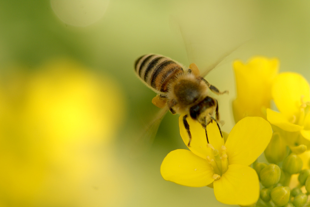 はたらきバチ