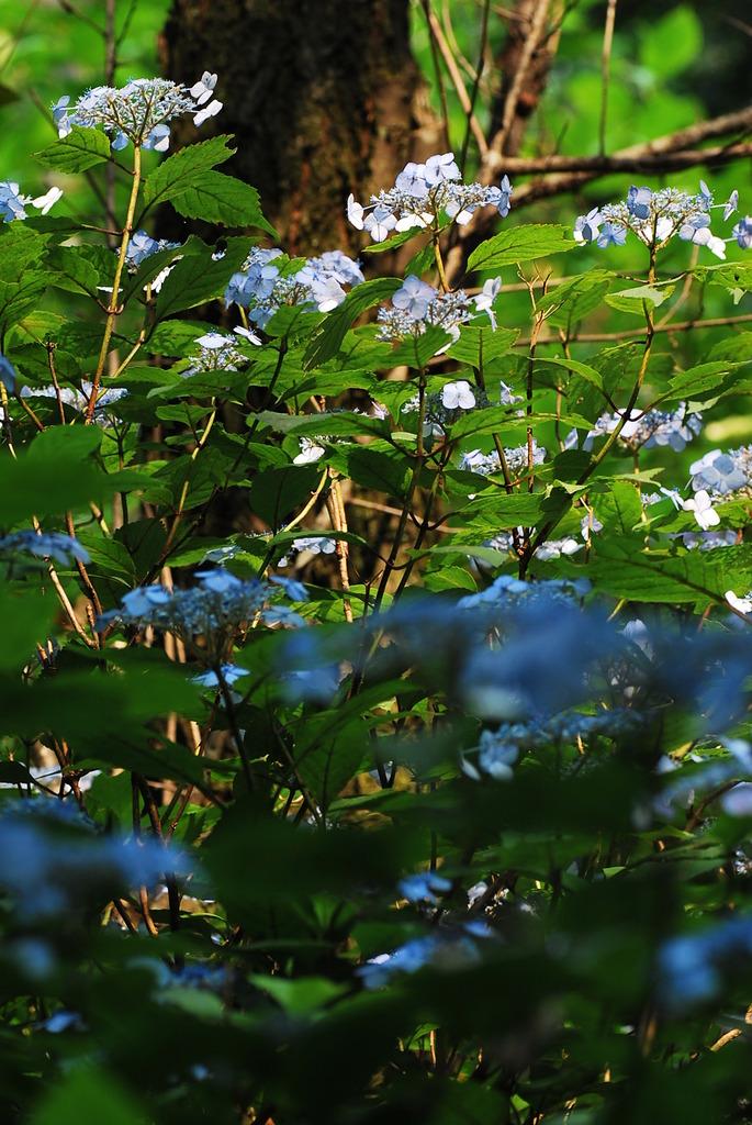 山の額紫陽花
