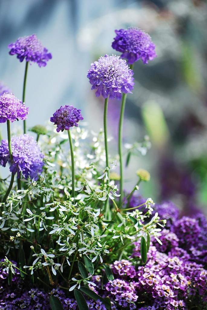 陽だまりの中の薄紫
