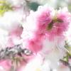 White&Pink・・・春色Dream