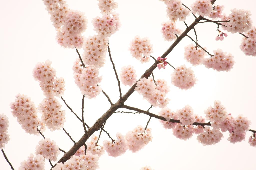 桜・九分九厘咲き