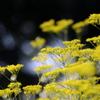 秋の気配 ~オミナエシ輝く~