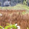 麦畑を行く