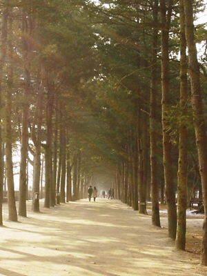 ★南怡島冬のソナタシラハバの並木道