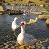 アヒルと鴨