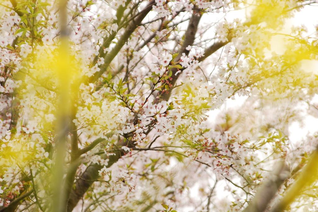 桜 菜の花越しに・・・