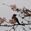 ヒヨドリと桜