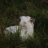 草原の中の山羊