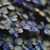 RUSTY  〜紫陽花〜