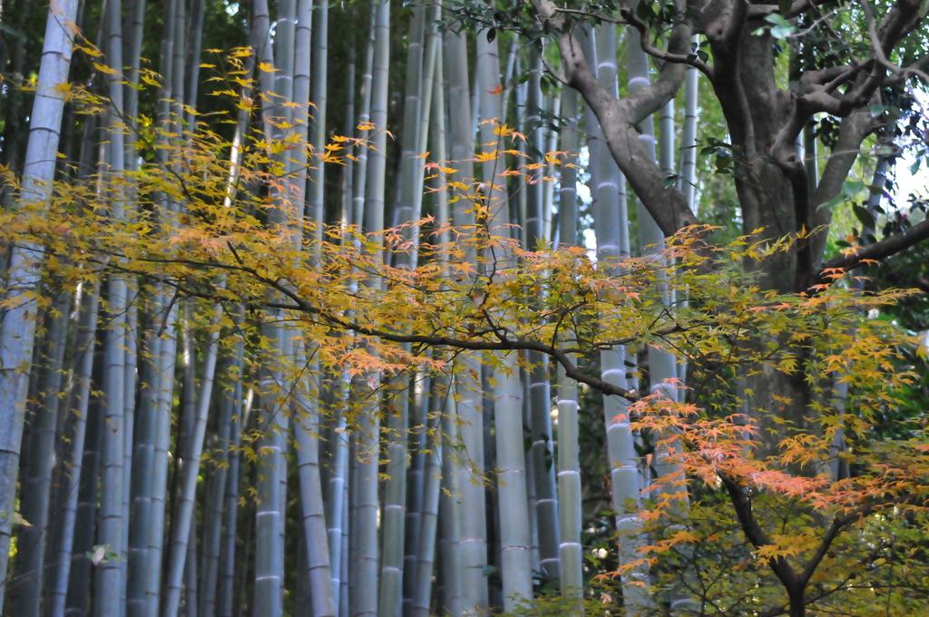 竹林と紅葉の演奏