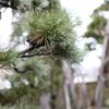 雨のしずくを纏った松の枝