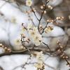 白梅咲き始め