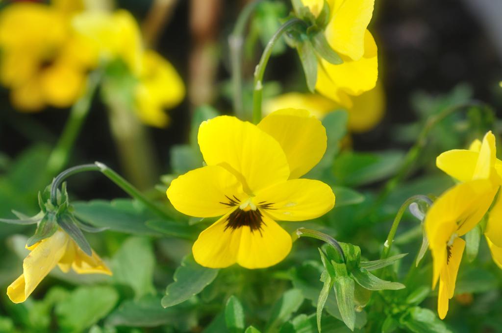 黄色スミレ