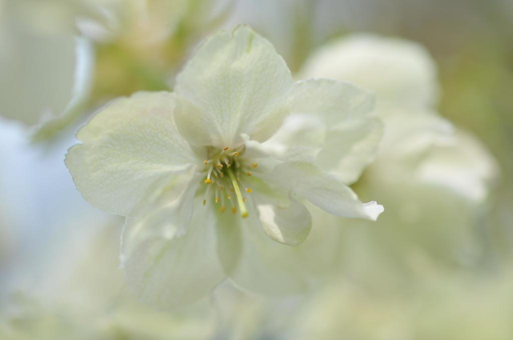 鬱金(うこん)桜