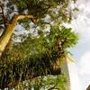 シンガポールの木