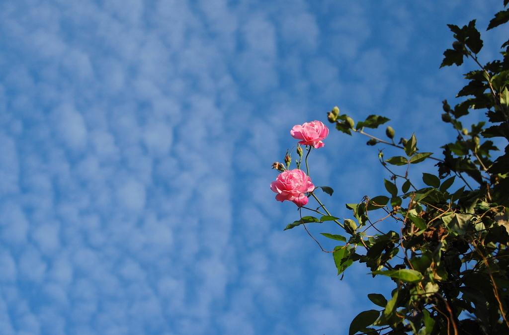 青空とバラ
