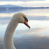 洞爺湖と白鳥