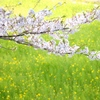 桜と菜の花#1