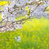 桜と菜の花#2