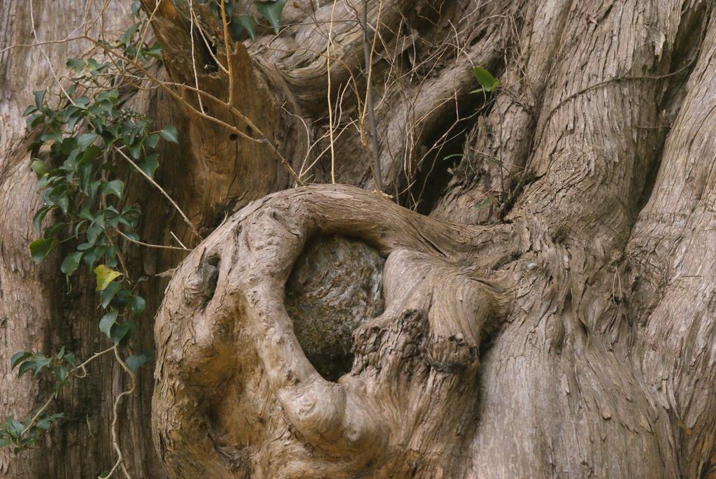 巨木の目と芽