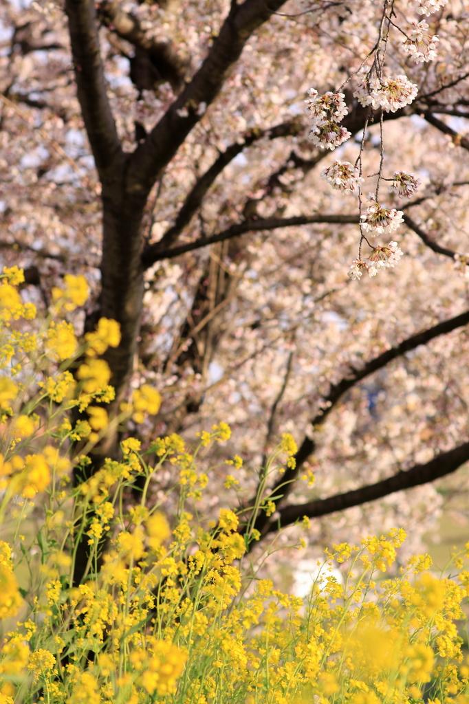 桜&菜の花