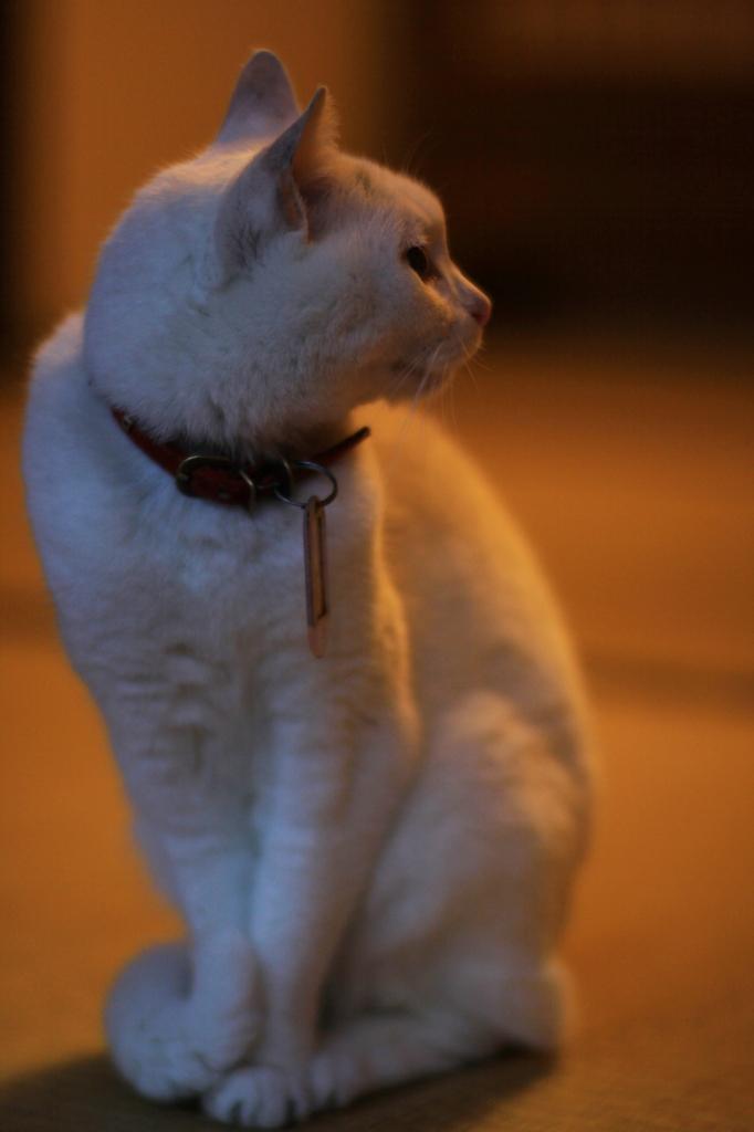 Planarな白猫
