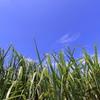サトウキビ畑(宮古島)