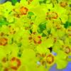 黄色の花群