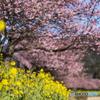 さあ、桜開幕