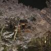 高遠城址の桜