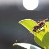 この蜂はなんという蜂なんでしょうか?