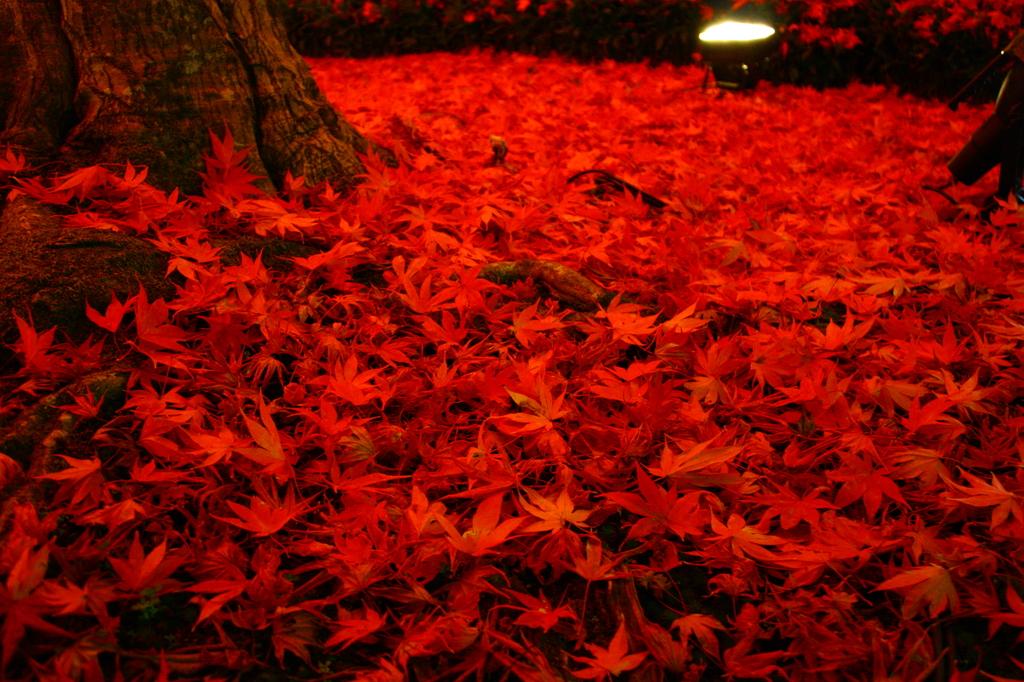 紅葉の絨毯てほんとにある