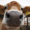 牛のハナ写真w