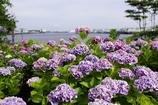 Hydrangea~紫陽花~