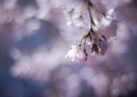 PENTAX PENTAX K-7で撮影した(sakura à la carte)の写真(画像)